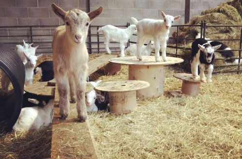 Goat farm goes for growth with funding deal